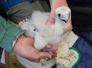 Marlow's peregrine falcon chicks are ringed to support their growth